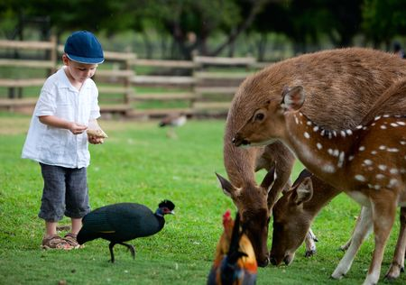 Little boy feeding deers in farm Stock Photo - 5371293