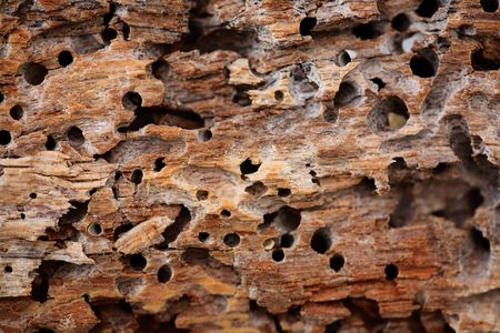 termite: Close up of wooden texture background with termite holes
