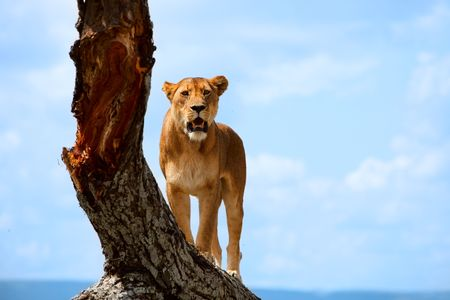 Lioness on tree in central Serengeti national park, Tanzania photo