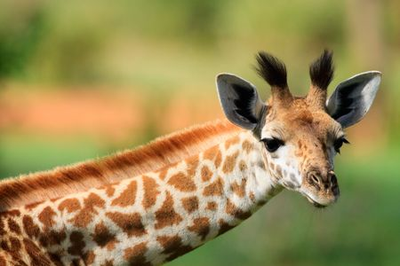 Portrait of young female giraffe in Tarangire national park, Tanzania photo