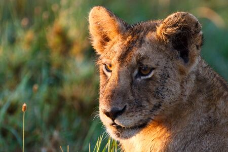 Young lion lit with beautiful sunrise light in central Serengeti national park, Tanzania Stock Photo - 6199226