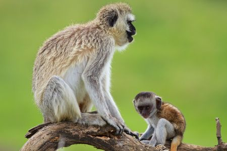 Mother and baby black-faced vervet monkeys. Serengeti national park, Tanzania. Focus on mother. Stock Photo - 6276228