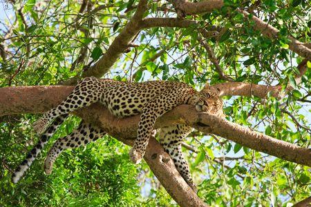 leopard head: Beautiful leopard sleeping on tree in Serengeti, Tanzania