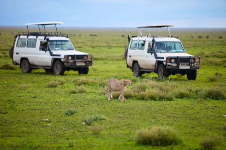 tanzania: Game drive. Safari cars on game drive with cheetah in front of cars