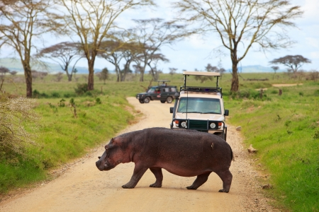 savanna: Game drive. Safari cars on game drive with hippo crossing road