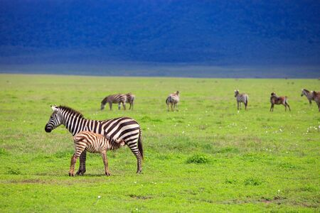 herbivore natural: Zebras in Ngorongoro conservation area in Tanzania Stock Photo