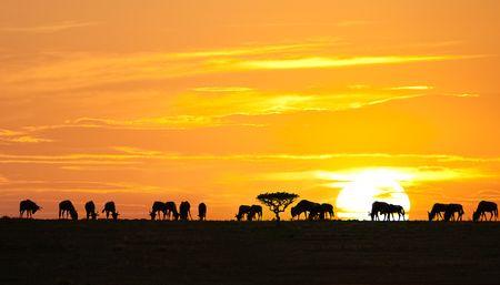 africa sunset: Sagome di wildebeests e albero di acacia su alba nel parco nazionale Serengeti, Tanzania