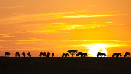 Silhouettes of wildebeests and acacia tree on sunrise in Serengeti national park, Tanzania Stock Photo - 6554064