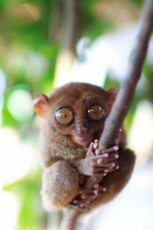 primate: Tarsier, smallest primate, in natural living environment