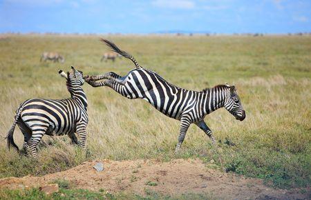 Two fightingt zebras in Serengeti national park, Tanzania photo