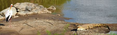 dangerously: Panoramic photo of crocodile and heron dangerously close to each other. Taken in Serengeti national park in Tanzania. Stock Photo