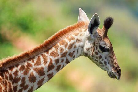 Portrait of young female giraffe in Tarangire national park, Tanzania Stock Photo - 6863208