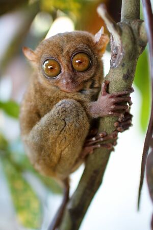 primate: Tarsier smallest primate in natural living environment