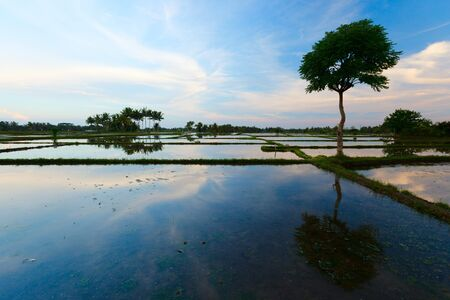 ricefield: Evening of a beautiful rice field full of water