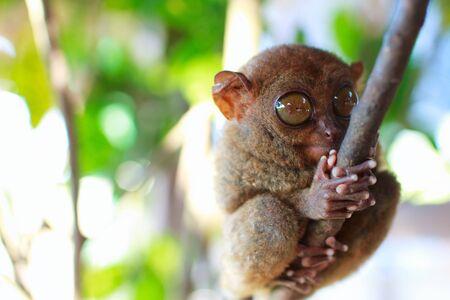 Tarsier, smallest primate, in natural living environment photo