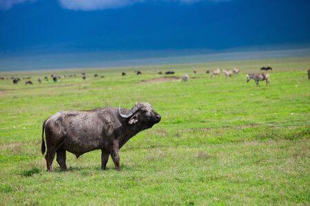Buffalo in Ngorongoro crater area in Tanzania photo