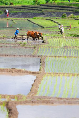 rice plant: Farmer with buffaloes working on rice field in Northern Bali Indonesia Stock Photo