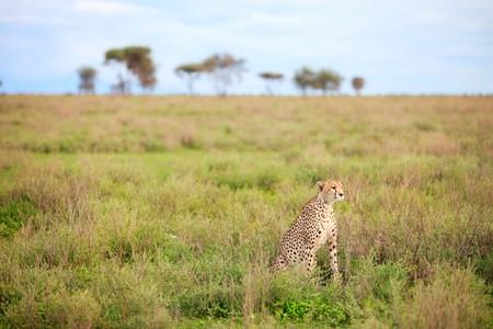 Beautiful cheetah in Southern Serengeti, Tanzania photo