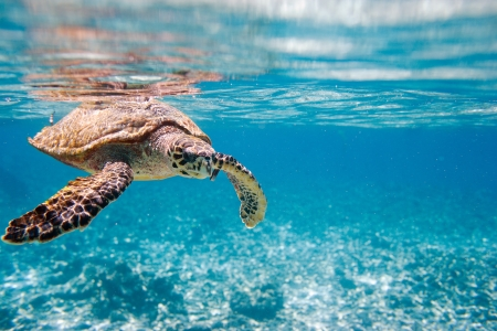Hawksbill sea turtle swimming in Indian ocean in Seychelles photo