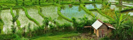 ricefield: Panorama of beautiful rice field in Bali countryside