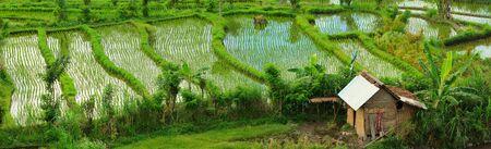 Panorama of beautiful rice field in Bali countryside photo