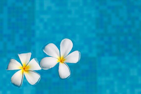 Two frangipani flowers in blue water photo