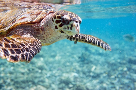 Close up of Hawksbill sea turtle swimming in Indian ocean in Seychelles