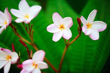 Beautiful pink frangipani flowers on tree in the garden photo