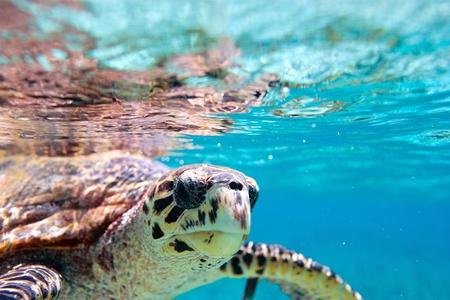 세이셸에서 인도양에서 수영하는 Hawksbill 바다 거북이의 닫습니다