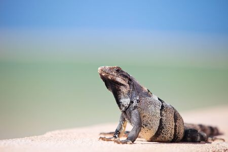 Mexican iguana relaxing in front of Caribbean sea photo