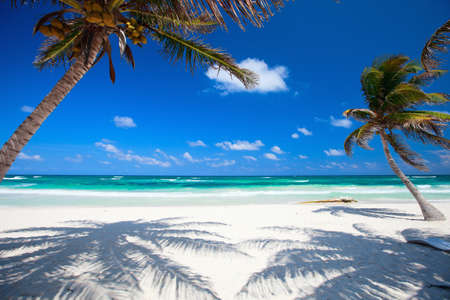palmtree: Coconut palms at perfect Caribbean beach in Tulum Mexico