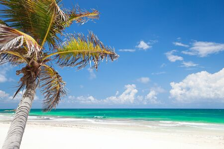 palmtree: Coconut palm at perfect Caribbean beach in Tulum Mexico