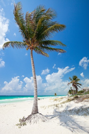 Coconut palm at perfect Caribbean beach in Tulum Mexico photo