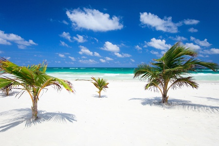 Small coconut palms at perfect Caribbean beach in Tulum Mexico photo