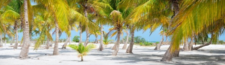 panoramic beach: Panorama of palm trees at tropical coast in Holbox island Mexico Stock Photo