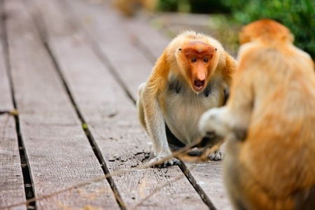proboscis: Proboscis monkeys on Borneo island in Malaysia