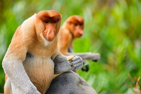 sandakan: Proboscis monkeys endemic of Borneo island in Malaysia Stock Photo