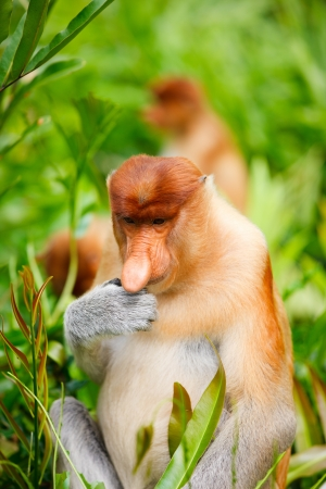 proboscis: Young male proboscis monkey eating fresh green leaves Stock Photo
