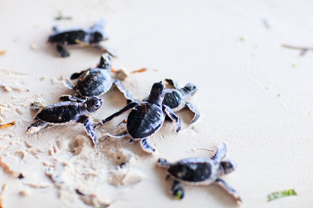 Baby green turtles making it s way to the ocean photo
