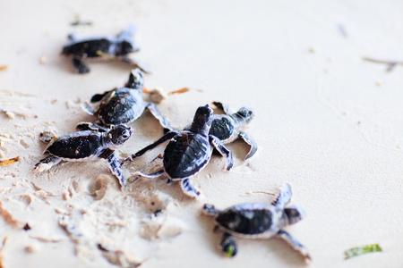 Las tortugas verdes del bebé por lo que es s camino hacia el océano