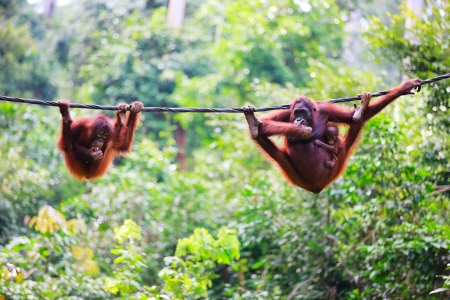 borneo: Mother, baby and child orangutans from Sabah in Malaysian Borneo Stock Photo