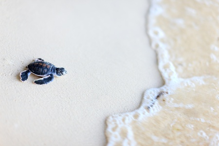 green turtle: Baby green turtle making its way to the ocean
