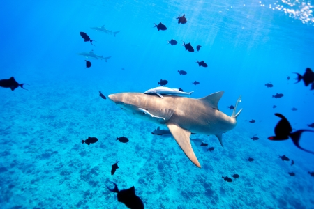 french polynesia: Lemon shark swims through fish in Pacific ocean Stock Photo