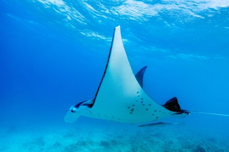 Manta ray swimming in the ocean in French Polynesia photo