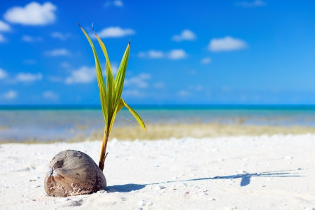 coconut seedlings: Coconut sprout growing on a tropical beach