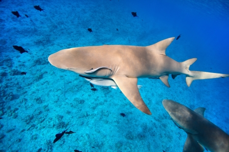 Lemon sharks swim among fish in Pacific ocean photo