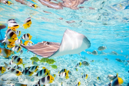 stingray: Colorful fish, stingray and black tipped sharks underwater in Bora Bora lagoon Stock Photo
