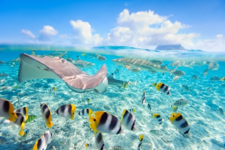 marine coral: Colorful fish, stingray and black tipped sharks underwater in Bora Bora lagoon Stock Photo