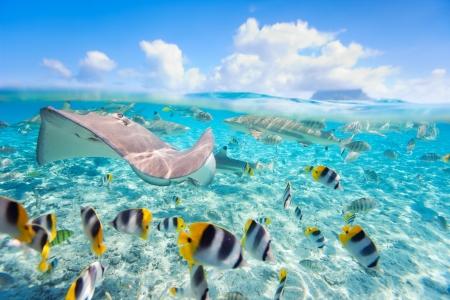 corales marinos: Coloridos peces, rayas y tiburones de punta negra bajo el agua en Bora Bora Lagoon Foto de archivo