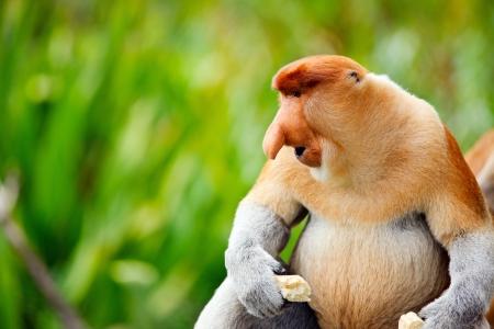 말레이시아 보르네오 섬의 코 원숭이 지방 병